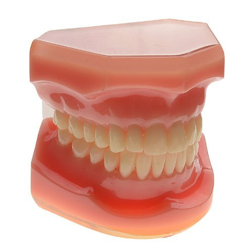 Autek Dental Study Teaching Model Teeth Standard Model(Dental-037)