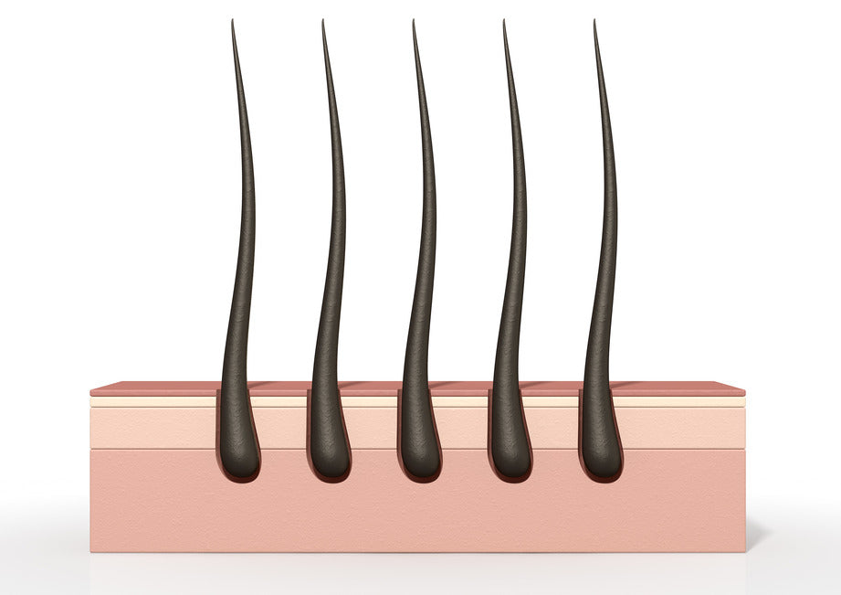 Cycle Of Hair Growth And Information About Follicles
