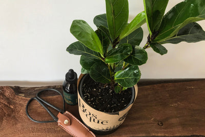 Dwarf Fiddle Leaf Fig - Bosque