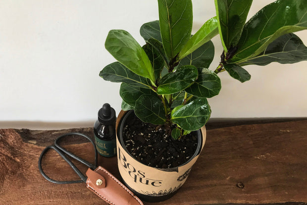 Bambino Fiddle Leaf Fig - Bosque