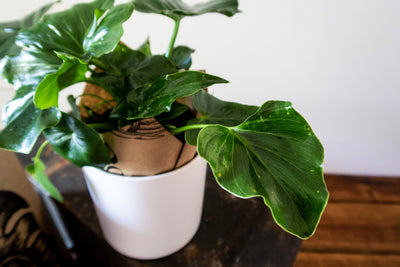 indoor plant delivery gifts melbourne