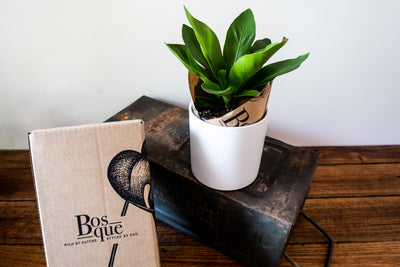 Birds Nest Fern - Bosque