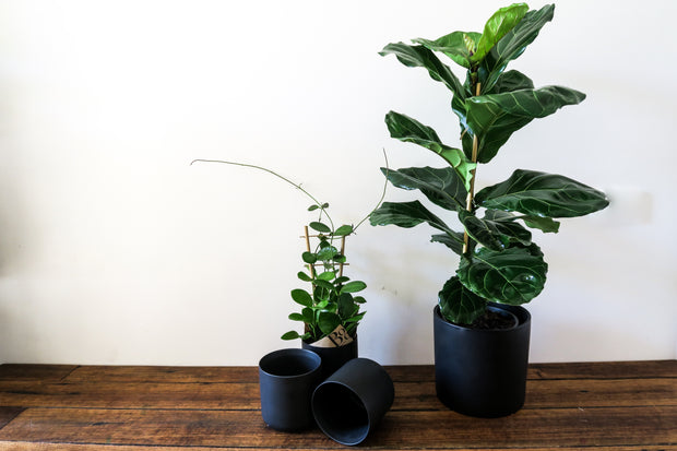 Fiddle Leaf Fig Tree - Bosque