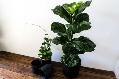 Indoor plant delivery Melbourne