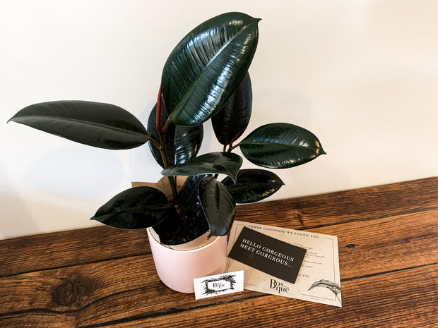 Ficus Small