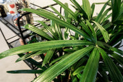 Palm indoor plant delivery