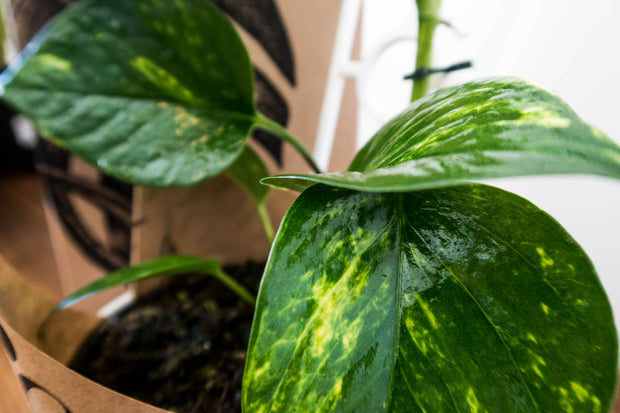 marbled queen devil's ivy indoor plant delivery