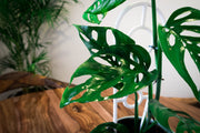 Monstera Adansonii - Bosque