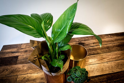 Peace Lily - Spathiphyllum - Bosque