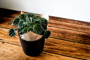 Emerald Ripple Peperomia - Bosque