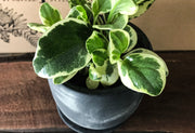 Marble Peperomia - Bosque