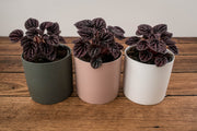 peperomia indoor plant delivered melbourne, Sydney, Brisbane, Canberra