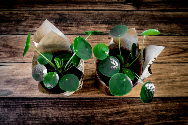 Pilea indoor plant gift delivery Melbourne Small, medium, large indoor plant pot
