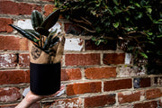 indoor plant ficus elastica, rubber plant delivery Melbourne Small, medium, large indoor plant pot