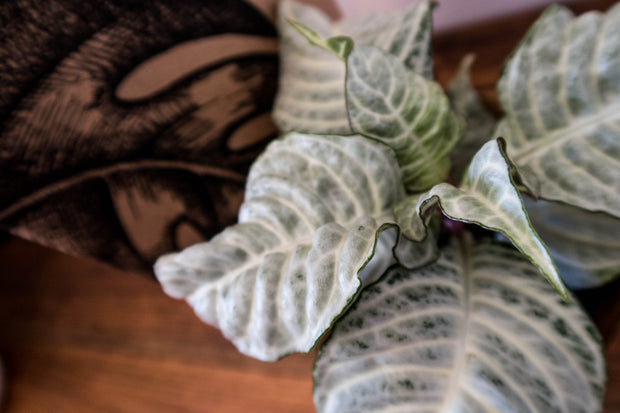 Snow White zebra indoor plant delivery
