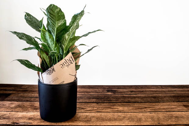 Variegated Peace Lily indoor plant gift delivery Melbourne Small, medium, large indoor plant pot