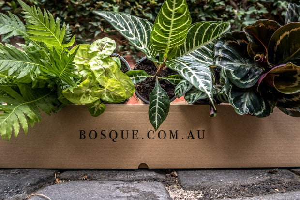 Six Plant Green House Box - Bosque