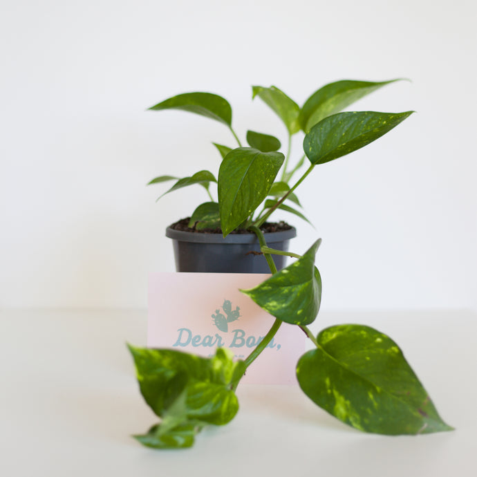 Devil's Ivy Easy Care Plant, free Delivery Melbourne