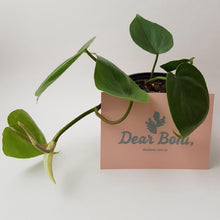 Heartleaf Philodendron (Philodendron Cordatum) Small in 170mm Mr Kitly x Decor Self-Watering Pot