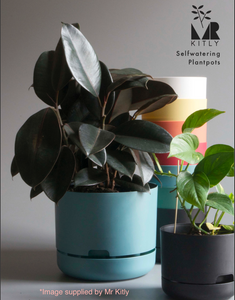 Rubber Plant (Ficus Elastica) Melany Small in 170mm Mr Kitly x Decor Self-Watering Pot
