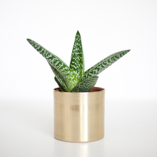 Succulent in Gold Brass Pot