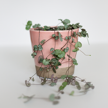 Chain of hearts potted in a beautiful pink pot. Delivered across Melbourne