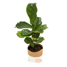 Fiddle Leaf Fig (Ficus Lyrata) Medium in 250mm Mr Kitly x Decor Self-Watering Pot