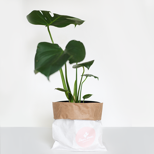 Fruit Salad Plant (Monstera Delisiosa) in 250mm Mr Kitly x Decor Self-Watering Pot