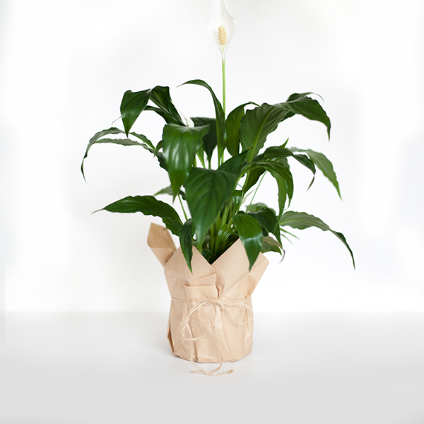 Peace Lilly (Spathiphyllum)