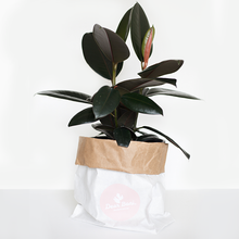 Rubber Plant (Ficus Elastica) Burgundy Medium in 250mm Mr Kitly x Decor Self-Watering Pot
