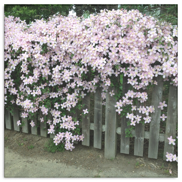 Flowers on a Fence