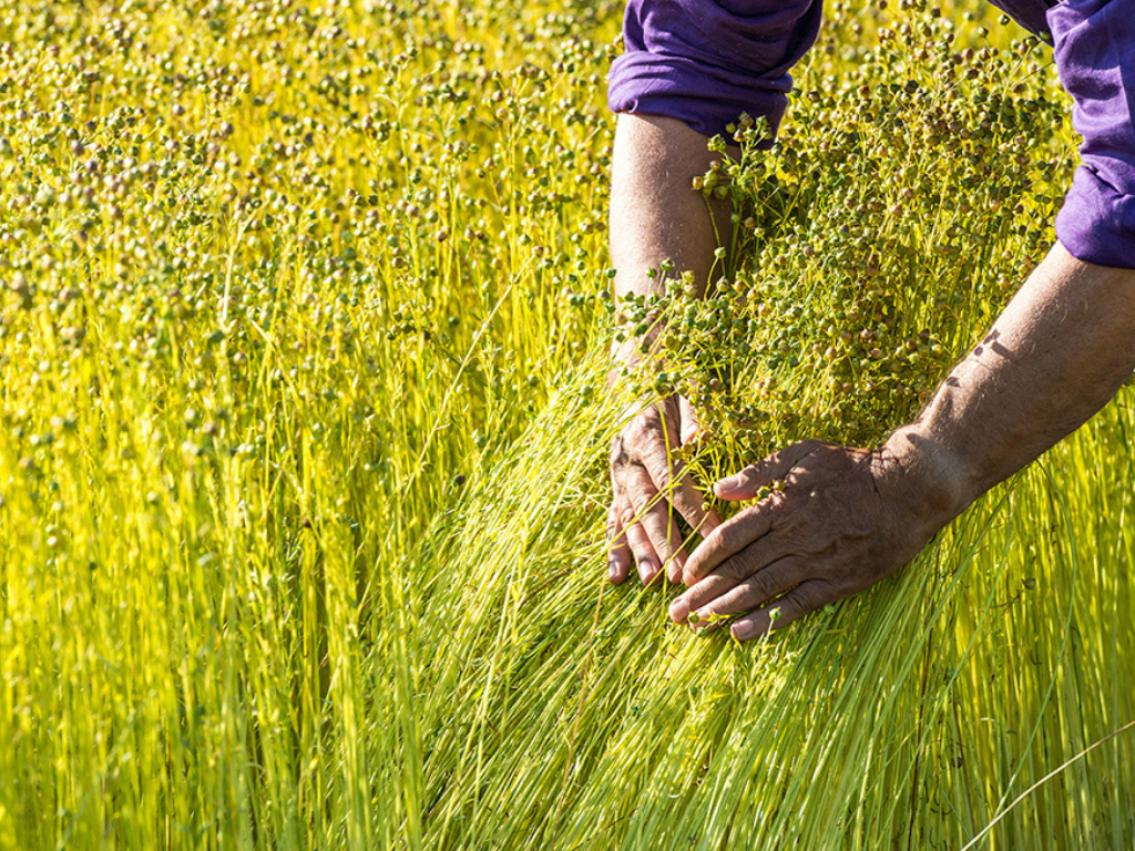 French linen farmer inspecting the quality of his organic flax plants