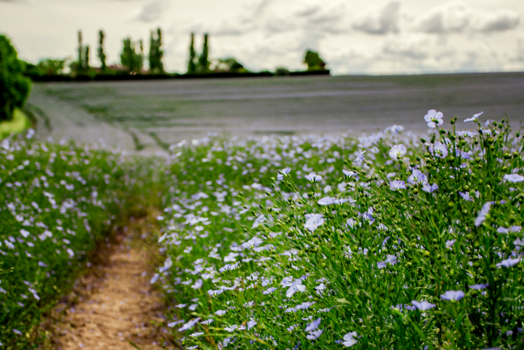 French flax field