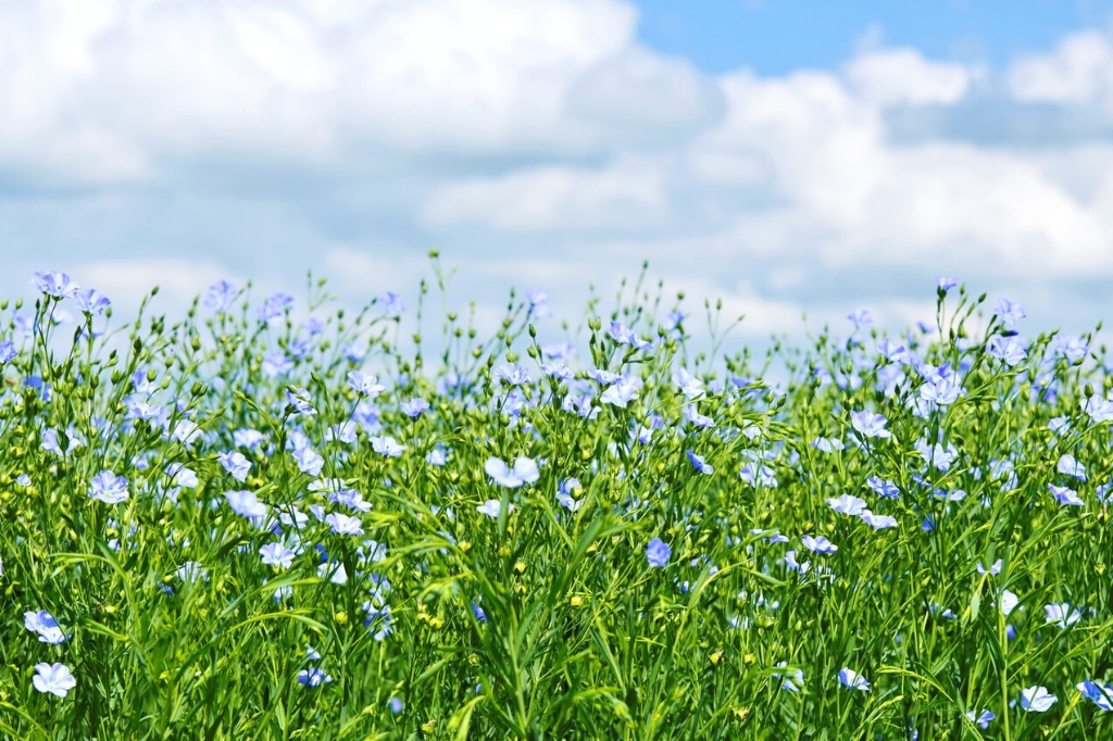 Field of flax plants in bloom against blue sky with white clouds