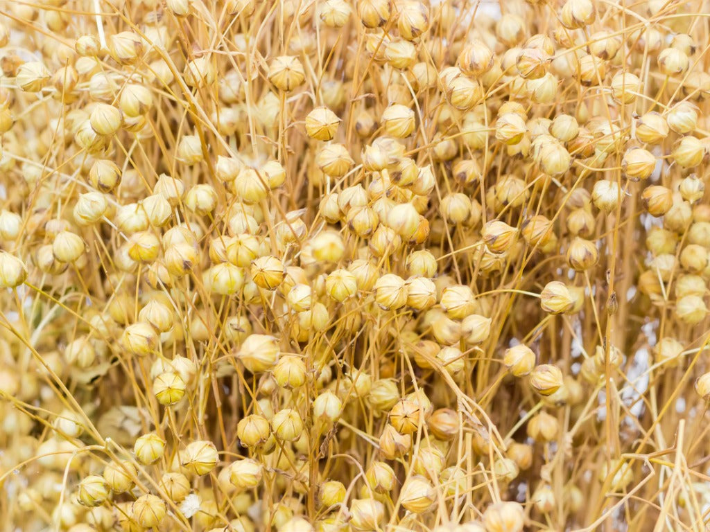 Harvested flax sheaf with seed capsules