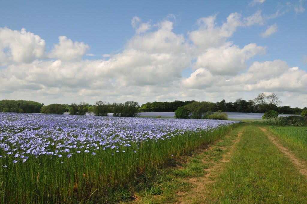 Flax field in blossom