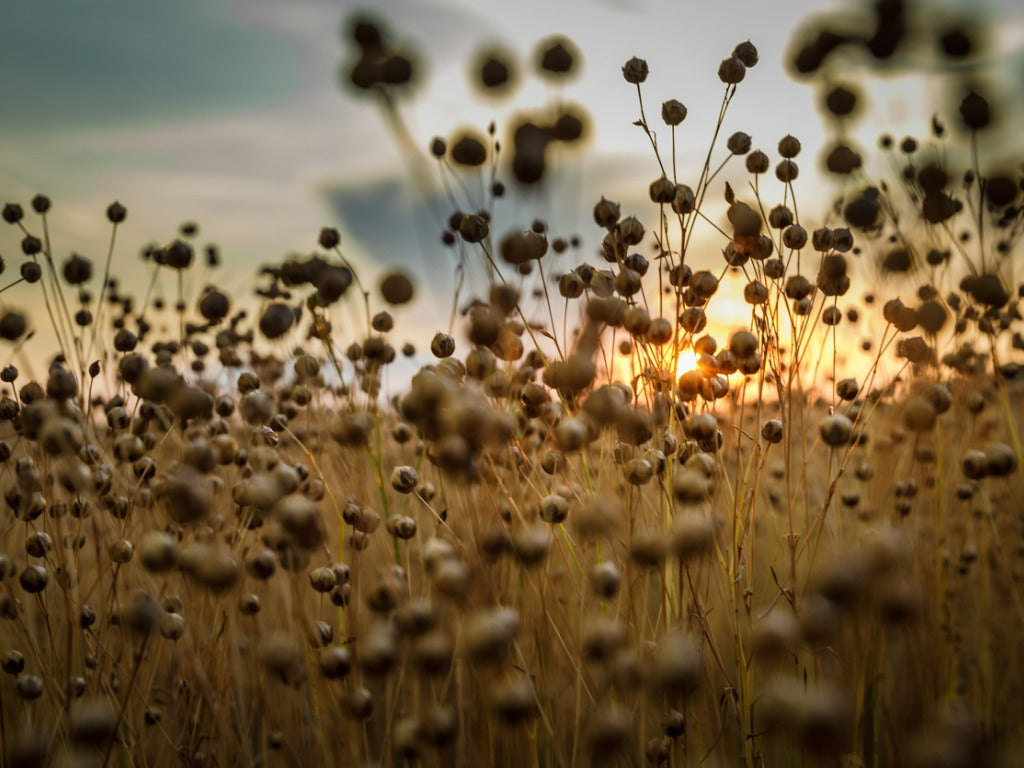 Flax field by sunset