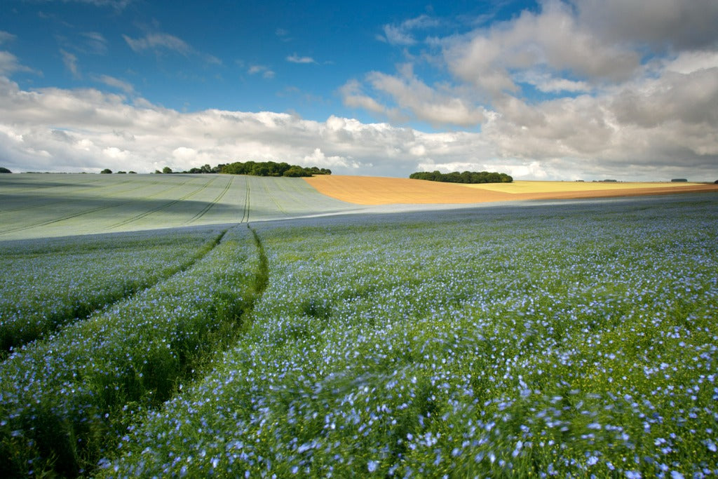 Fields of Linseed flax on rolling downland on a glorious mid summer day.