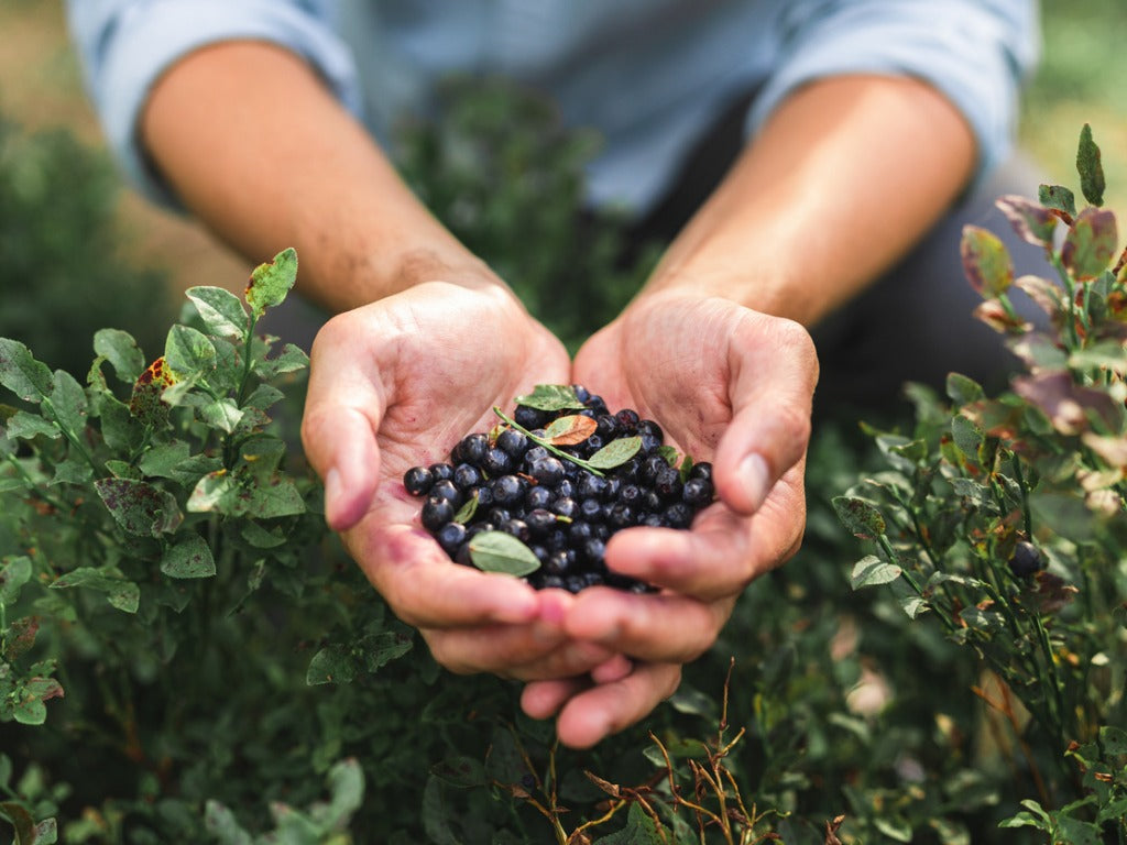 A man is walking through a forest, spending his time blueberry picking on a beautiful summer day. In his cupped hands is a heap of fresh wild blueberries.
