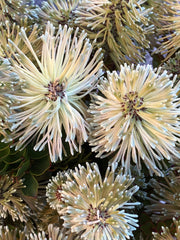 Native Bunch native flowers in a jar posy $30 or bunch $50 this week's beautiful little flower Protea staten's sceptre
