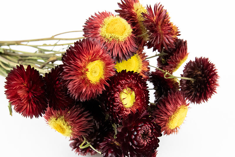 Helichrysum Bunch - Burgundy