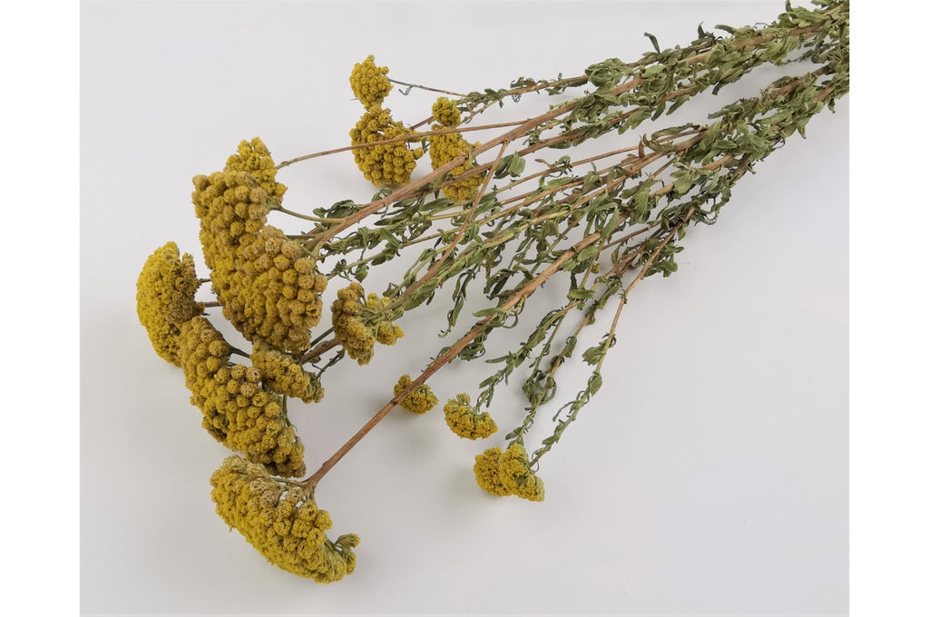 Dried Achillea Sylvestre - Yellow