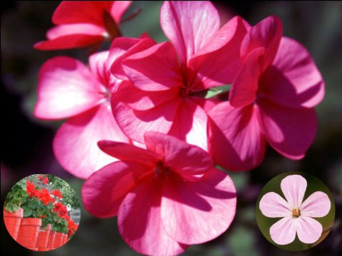 "10"" x 7.5"" Geranium Flower Cake Toppers Decorations on Edible Wafer Rice Paper"