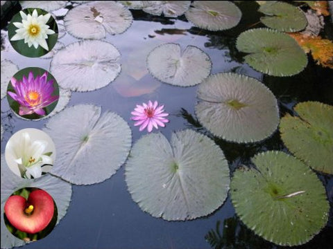 "10"" x 7.5"" Water Lily Flower Cake Toppers Decorations on Edible Wafer Rice Paper"