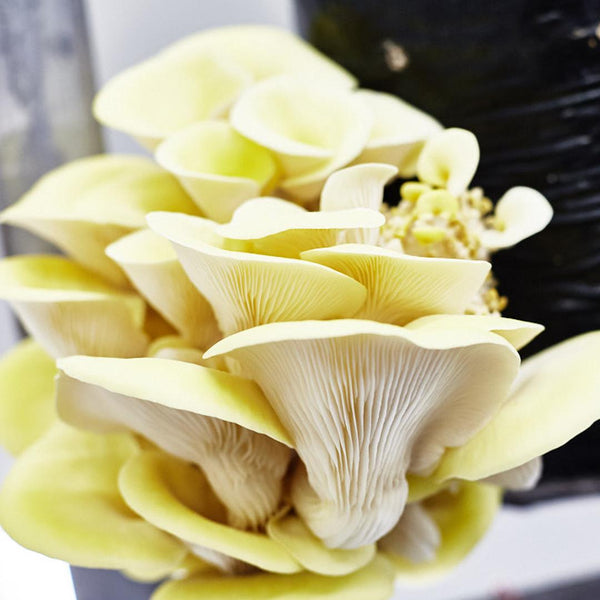 Grow your own Gourmet Mushrooms