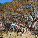 Hike the Falls Creek to Hotham Alpine Crossing