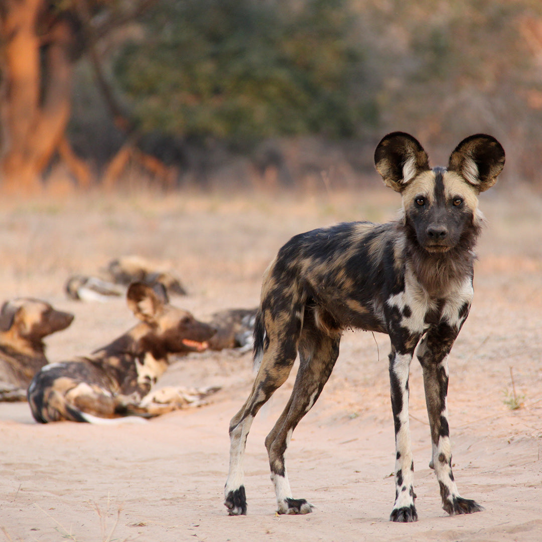 Painted Wolves, Mana Pools, Zimbabwe with Bushlife Safaris and Dusty Boots Travel