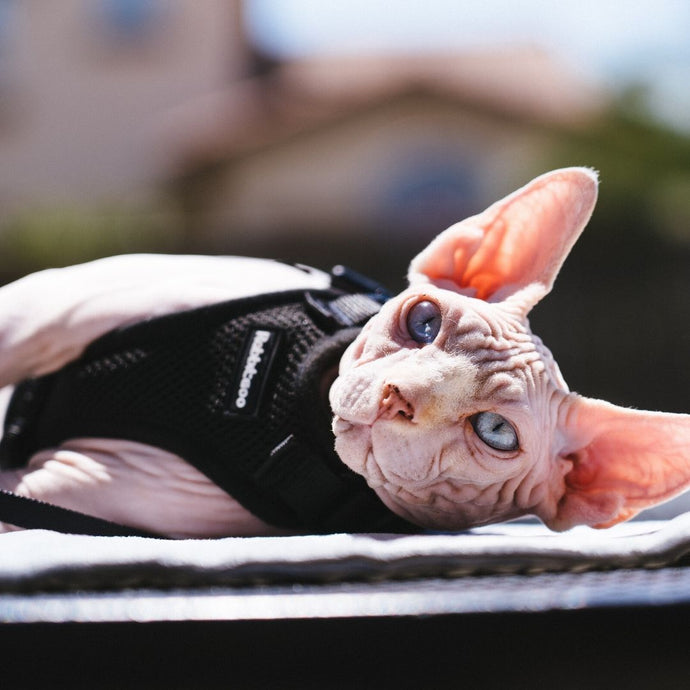 Behold, the royal and lovely Sphynx cat !!