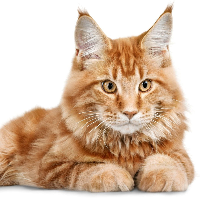 5 Signs to know that Your Cat isn't as Domesticated as You Think!