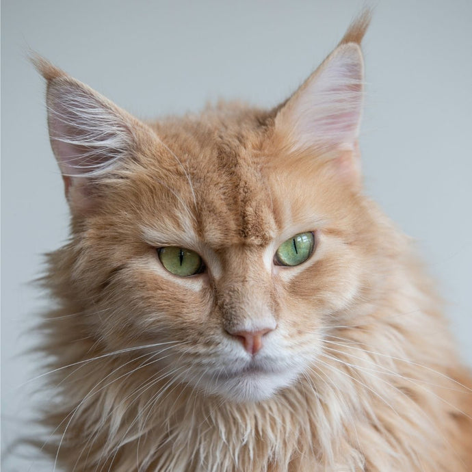 The biggy kitty, Maine Coon cats!
